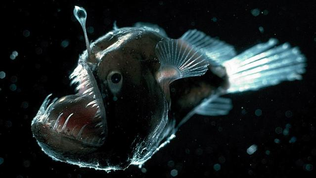 deep-sea-anglerfish